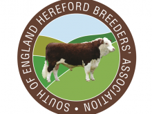 Heifers for sale from Englefield Home Farms